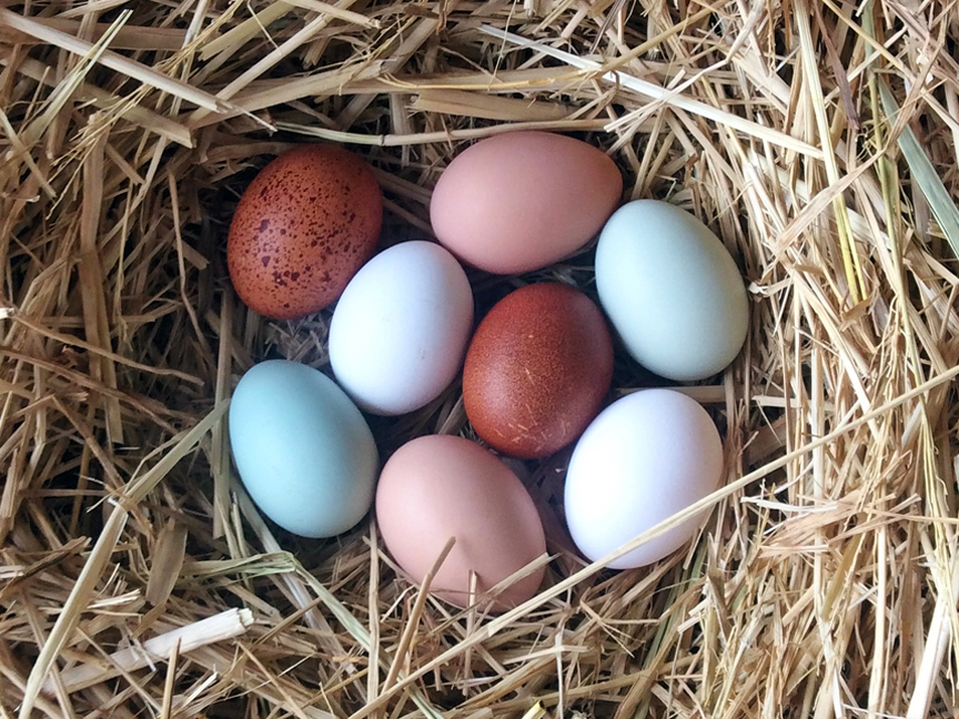 Egg laying Chicken Breed