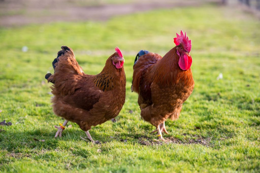 New Hampshire Red Chickens