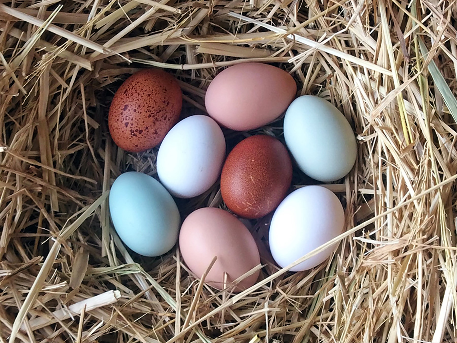 egg-laying breeds